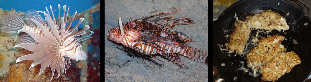 Invasive Lion Fish